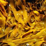 kelp-3
